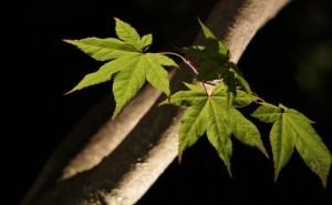 landscape-uplighting-maple-leaf-horticulture